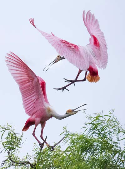 white pink color birds